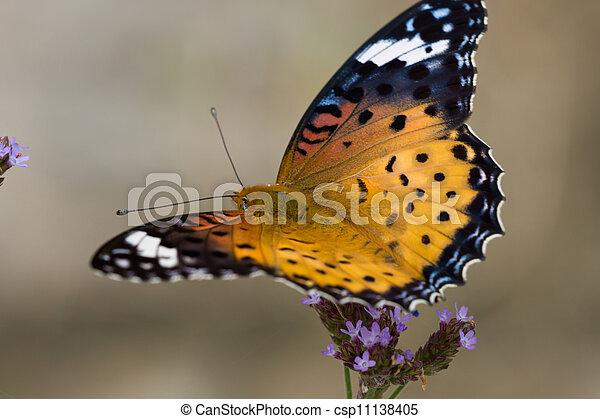 Nymphalidae - csp11138405