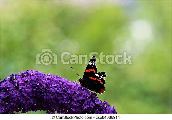 Nymphalidae,Admiral Vanessa atalanta butterfly on a lilac - csp84086914