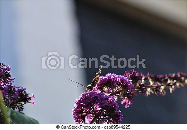 Nymphalidae,Admiral Vanessa atalanta butterfly on a lilac - csp89544225