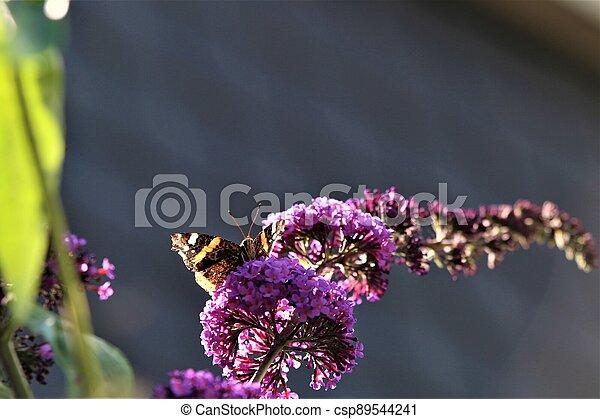 Nymphalidae,Admiral Vanessa atalanta butterfly on a lilac - csp89544241