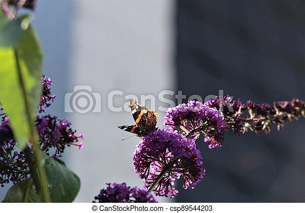 Nymphalidae,Admiral Vanessa atalanta butterfly on a lilac - csp89544203