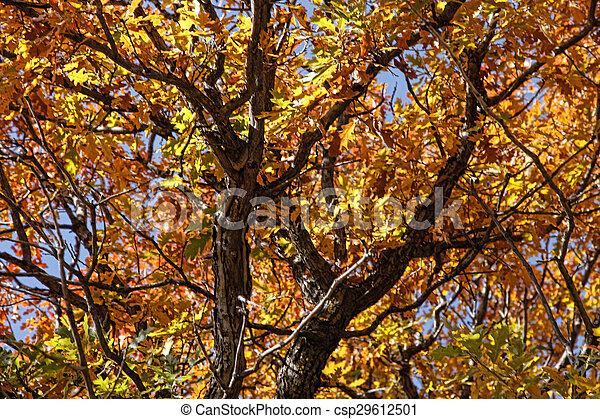 Oak Autumn Glory - csp29612501