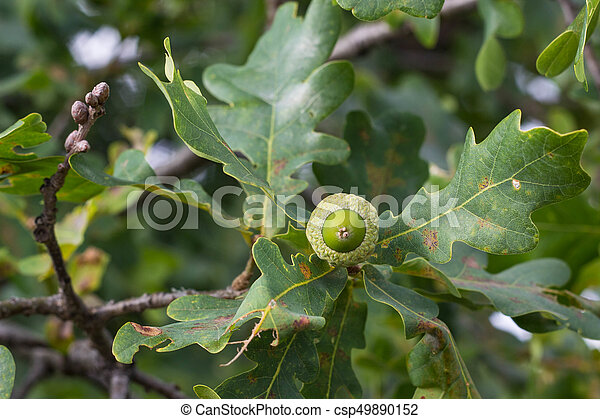 Oak Branch With Green Leaves And Acorns On A Sunny Day Oak Tree In Summer Blurred Leaf Background