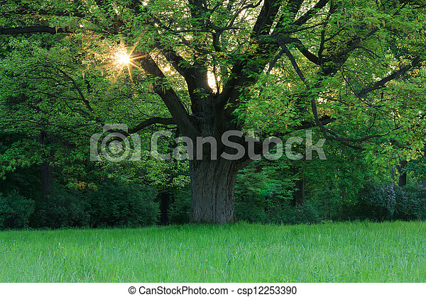Oak in the spring meadow - csp12253390