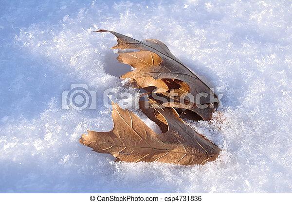 Oak Leaves in the Snow - csp4731836