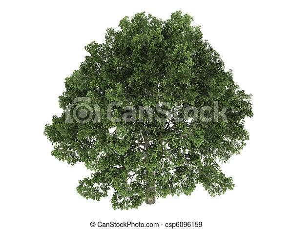 Oak or Quercus - csp6096159