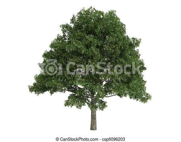 Oak or Quercus - csp6096203