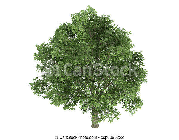 Oak or Quercus robur - csp6096222