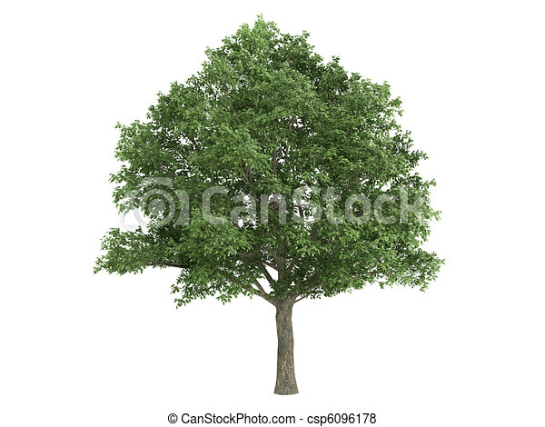Oak or Quercus robur - csp6096178