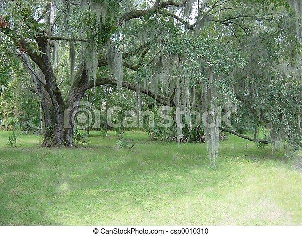 Oak & Spanish Moss - csp0010310