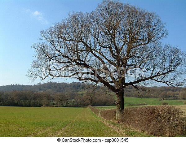Oak Tree in England - csp0001545