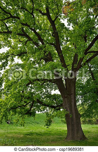 Oak Tree in Park - csp19689381