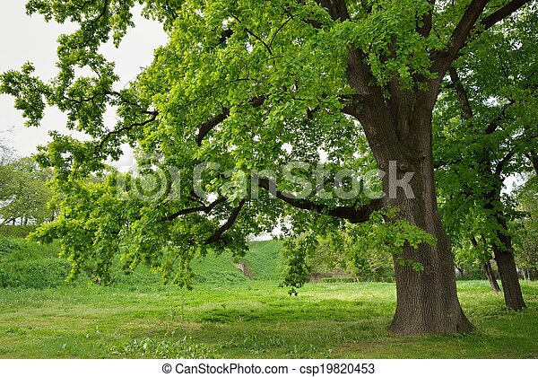 Oak Tree in Park - csp19820453