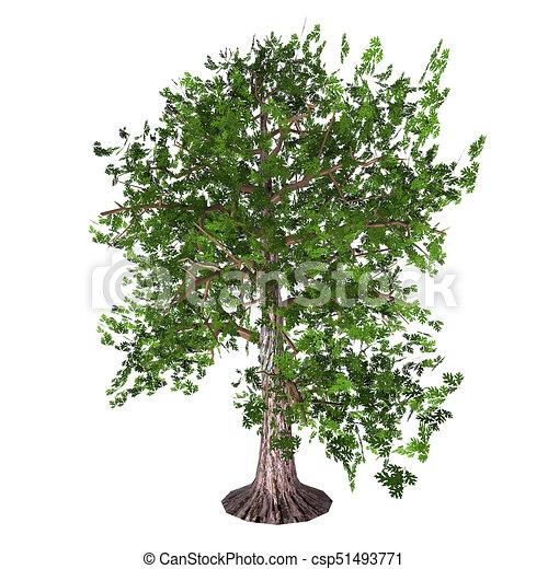 Oak Tree - csp51493771