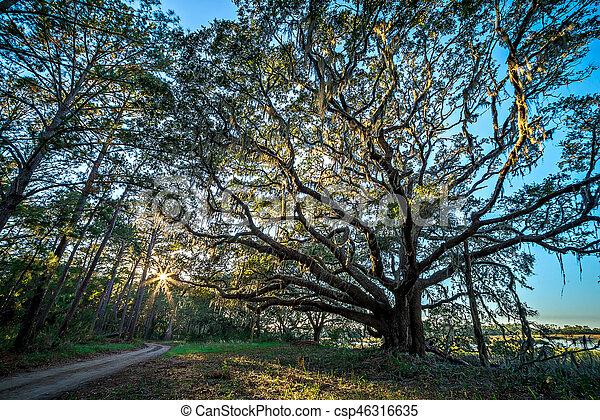oak trees and beautiful nature at sunset on plantation - csp46316635