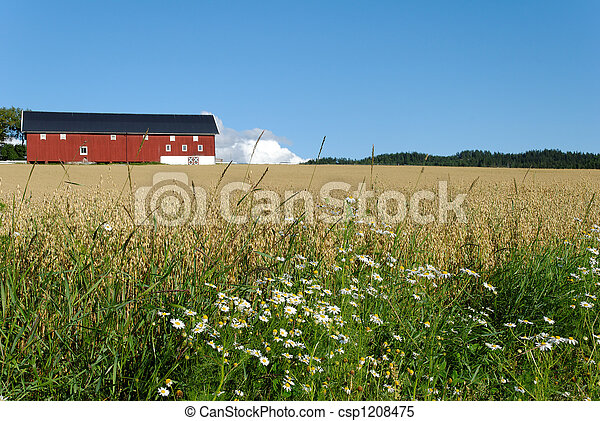 Oat Farm and Daisies  - csp1208475