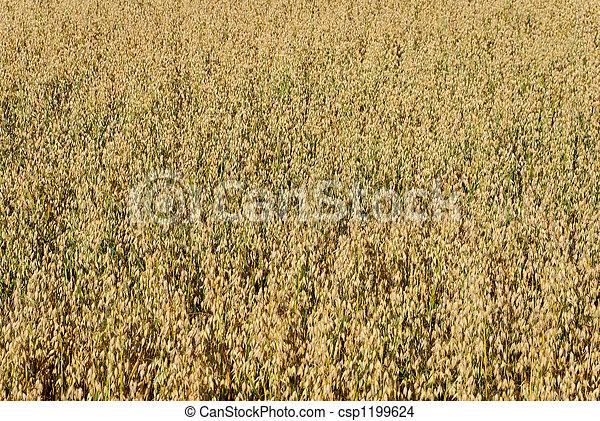 Oat Field Background  - csp1199624