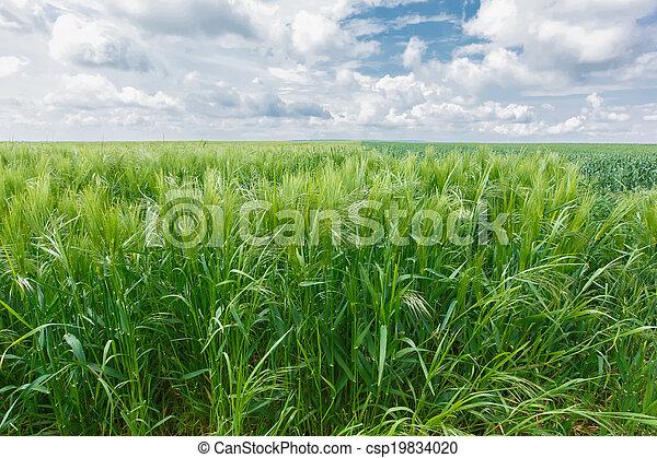 Oat Field - csp19834020