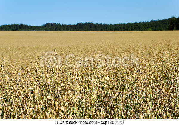 Oats Field Horizontal  - csp1208473