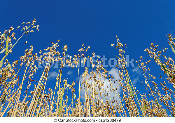 Oats on Blue Sky  - csp1208479