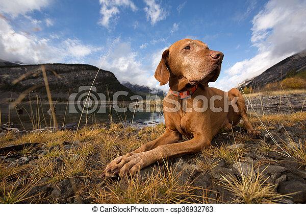 obedient golden colour vizsla dog outdoors - csp36932763