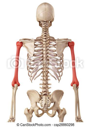 Oberarmknochen, knochen. Oberarmknochen, medizin, knochen, genau ...