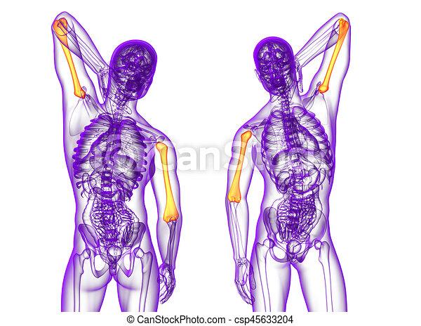 Oberarmknochen, medizinische abbildung, übertragung, knochen, 3d.
