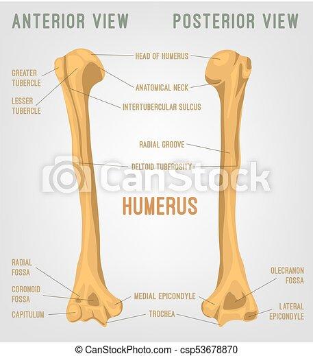 Oberarmknochen, menschlicher knochen. Oberarmknochen, koerperbau ...