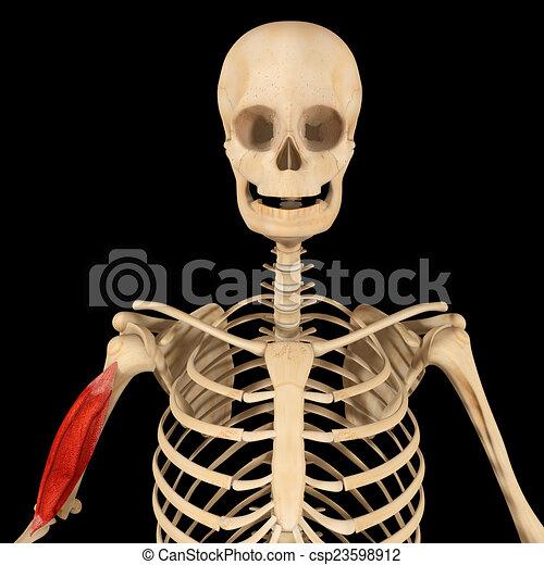 Oberarmknochen, muskel. Schulter, läufe, langer, oder, forelimb, arm ...