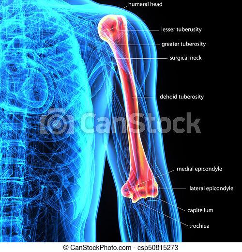Oberarmknochen, skeleton., -, abbildung, teil, menschliche , 3d ...