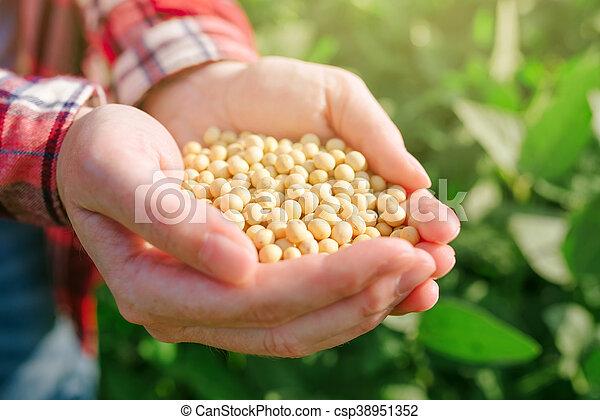 od, femininas, agricultor, punhado, campo, soja, cultivado - csp38951352