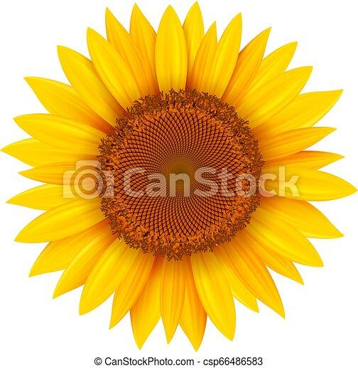 odizolowany, słonecznik - csp66486583