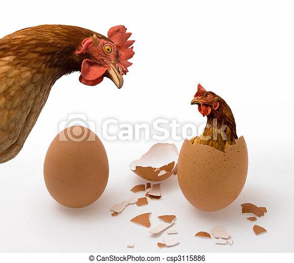 oeuf poulet, ou - csp3115886