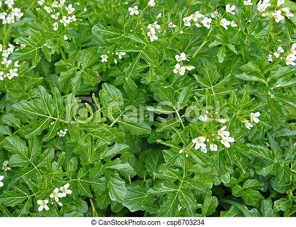 officinale), watercress, (nasturtium - csp6703234