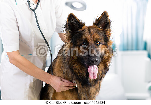 Examen de perro clínico por veterinario con estetoscopio en la oficina - csp44042834