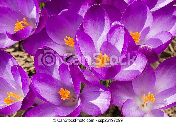 ogród, wiosna, krokus, makro, kwiaty, pierwszy - csp26197299