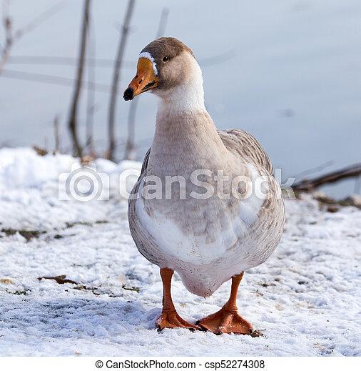 oie, hiver, neige - csp52274308