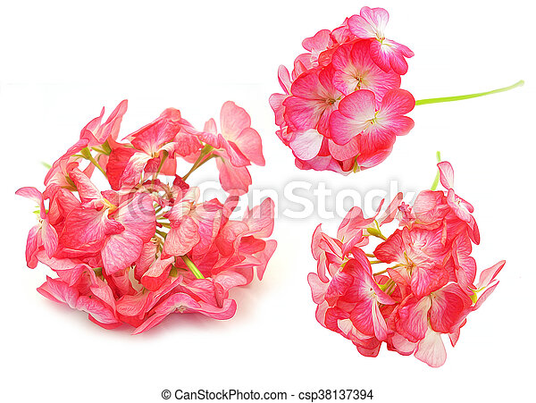 Oil Draw Geranium Perspective Paint Fresh Delicate Flowers And Petals Of Pelargonium Isolated On White Background Scrapbook Canstock