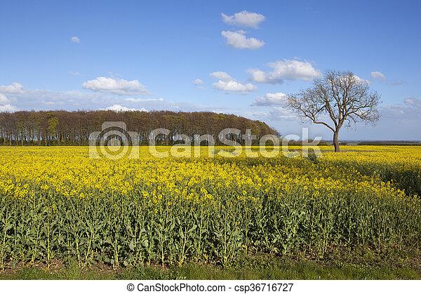 Oilseed rape crop in flower with woodlands a yellow stock photo oilseed rape crop in flower with woodlands csp36716727 mightylinksfo