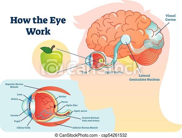 Ojo, ilustración, médico, trabajo, -, diagrama, cómo, cerebro ...
