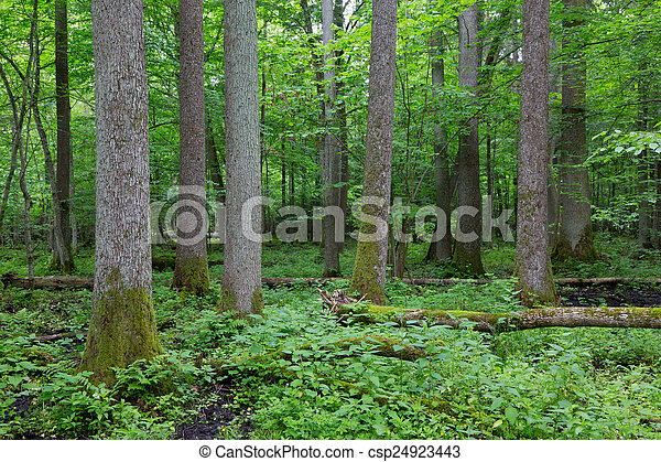 Old alder trees of Bialowieza Forest - csp24923443