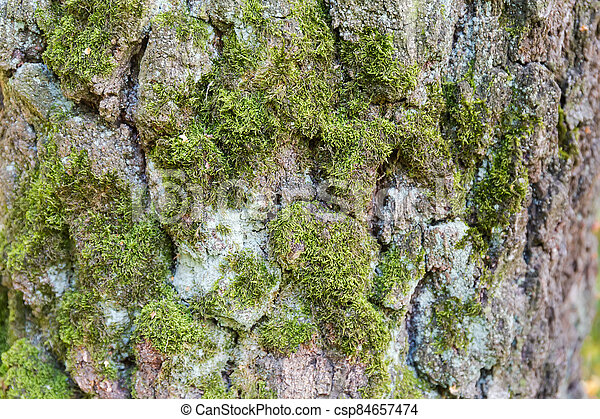 Old birch trunk with cracked and moss-grown bark, background - csp84657474