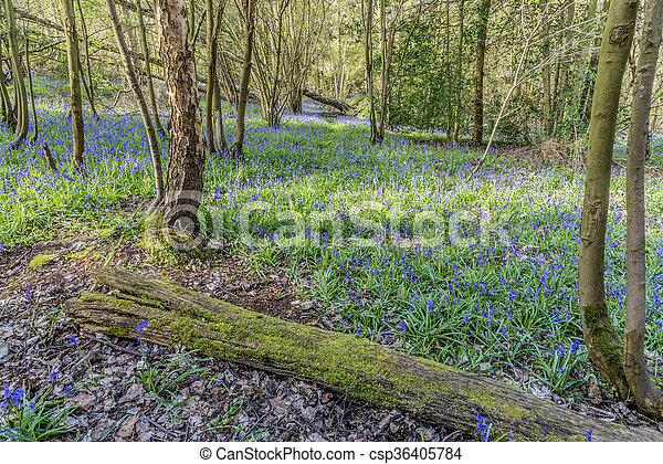Old Bluebell Wood - csp36405784