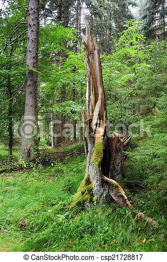 Old broken tree - csp21728817