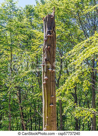 Old broken tree with polypores - csp57737240
