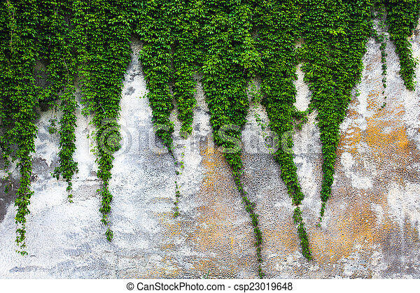 Old concrete wall with the green ivy - csp23019648