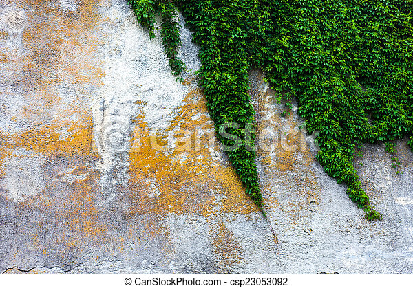 Old concrete wall with the green ivy - csp23053092