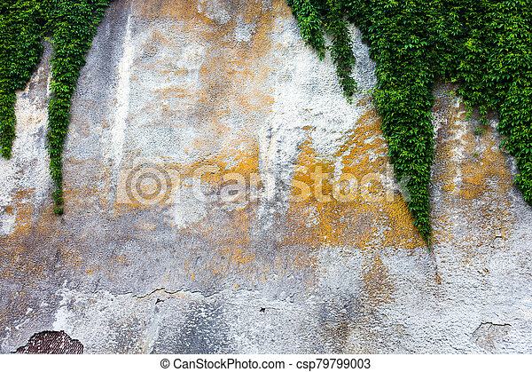 Old concrete wall with the green ivy - csp79799003