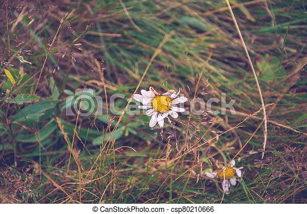 Old Daisy - csp80210666