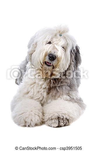 Old english sheepdog (bobtail) - csp3951505